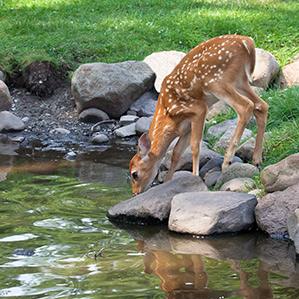 deer by pond