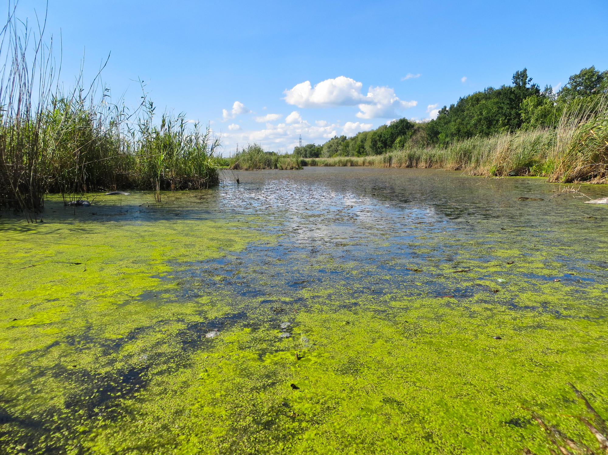 Large pond algae
