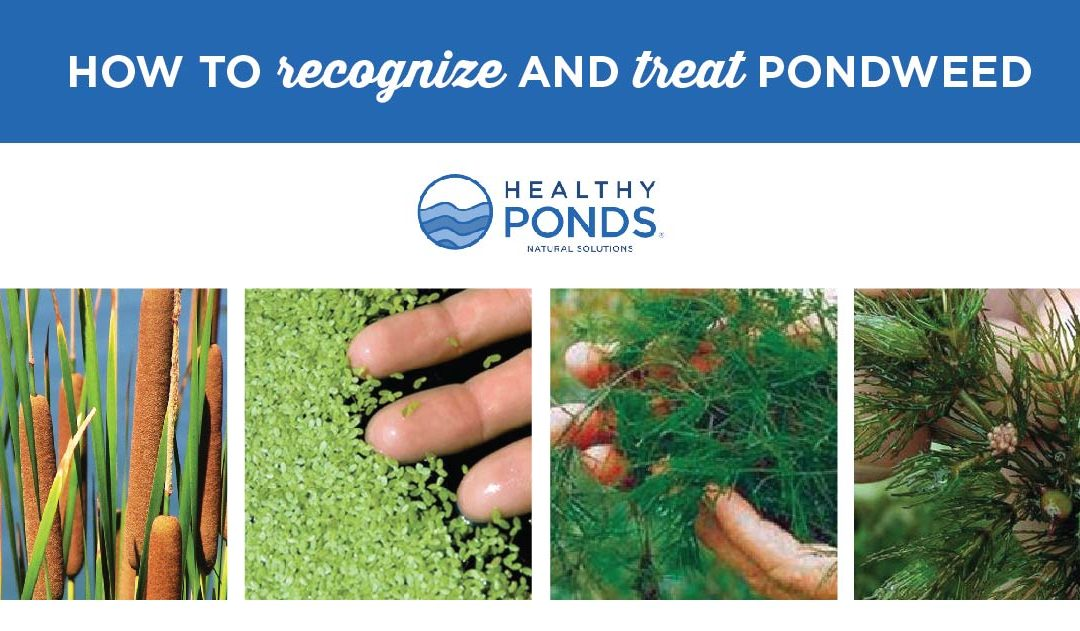 How to Recognize and Treat Pondweed