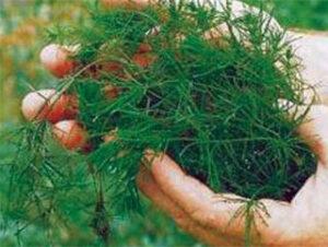 muskgrass